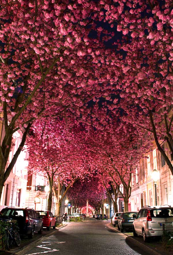 Cherry Blossom Avenue, Bonn, Germany.