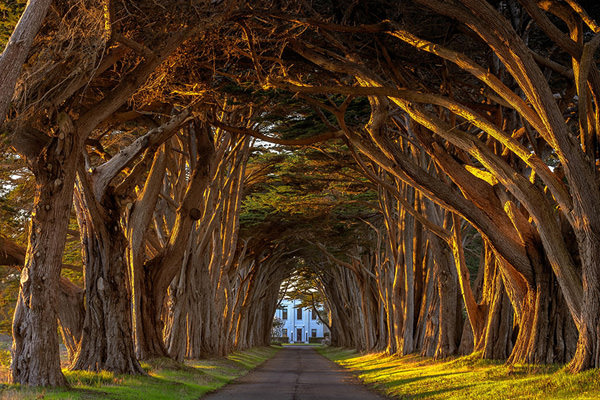 cypress-tree-avenue