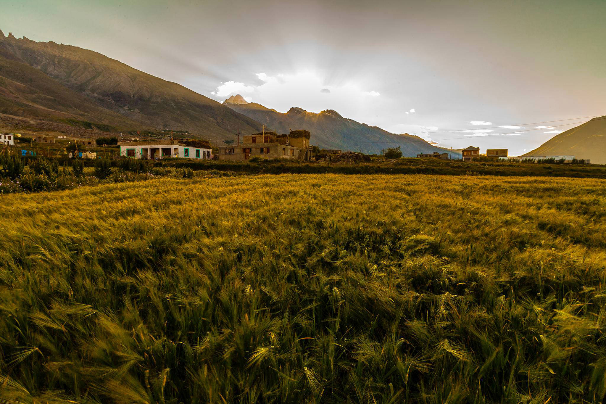 Grass at Padum (Zanskar valley)