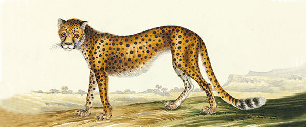 watercolor of a cheetah