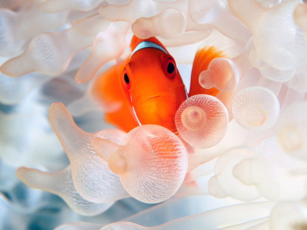 clownfish-and-bubble-tipped-anemone