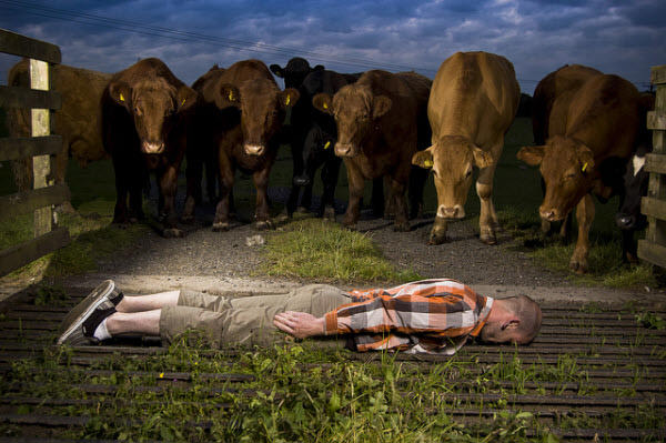 planker and cows