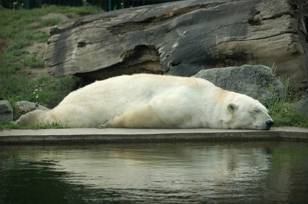 planking bear
