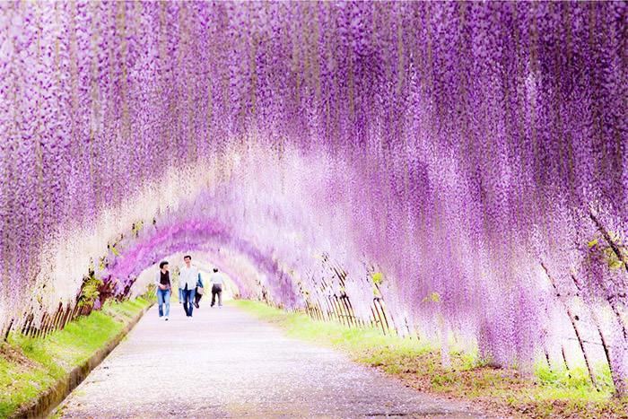 wisteria-flower-tunnel