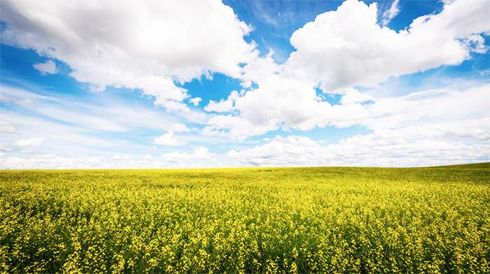 canola-flower-fields
