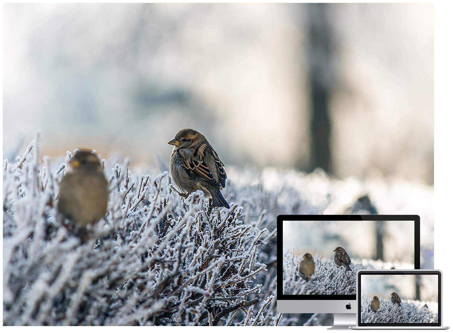 Sparrows on Snowy Grass