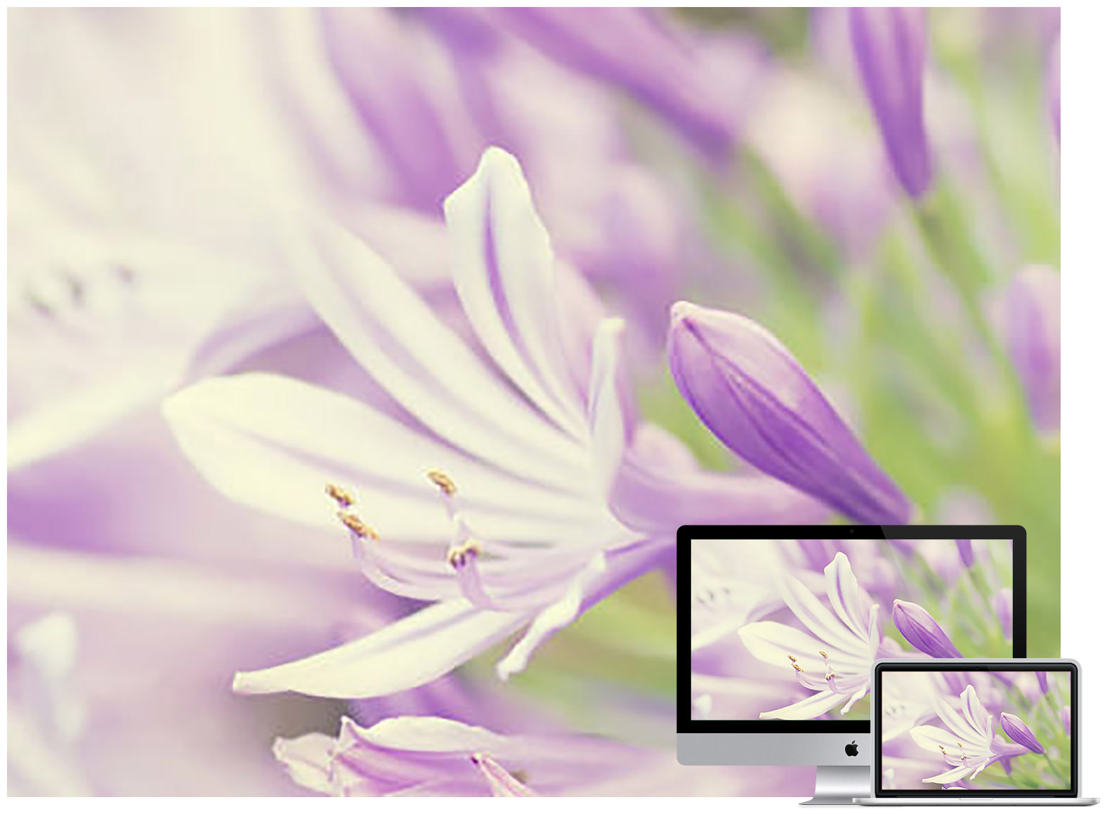 Purple & White flowers wallpaper