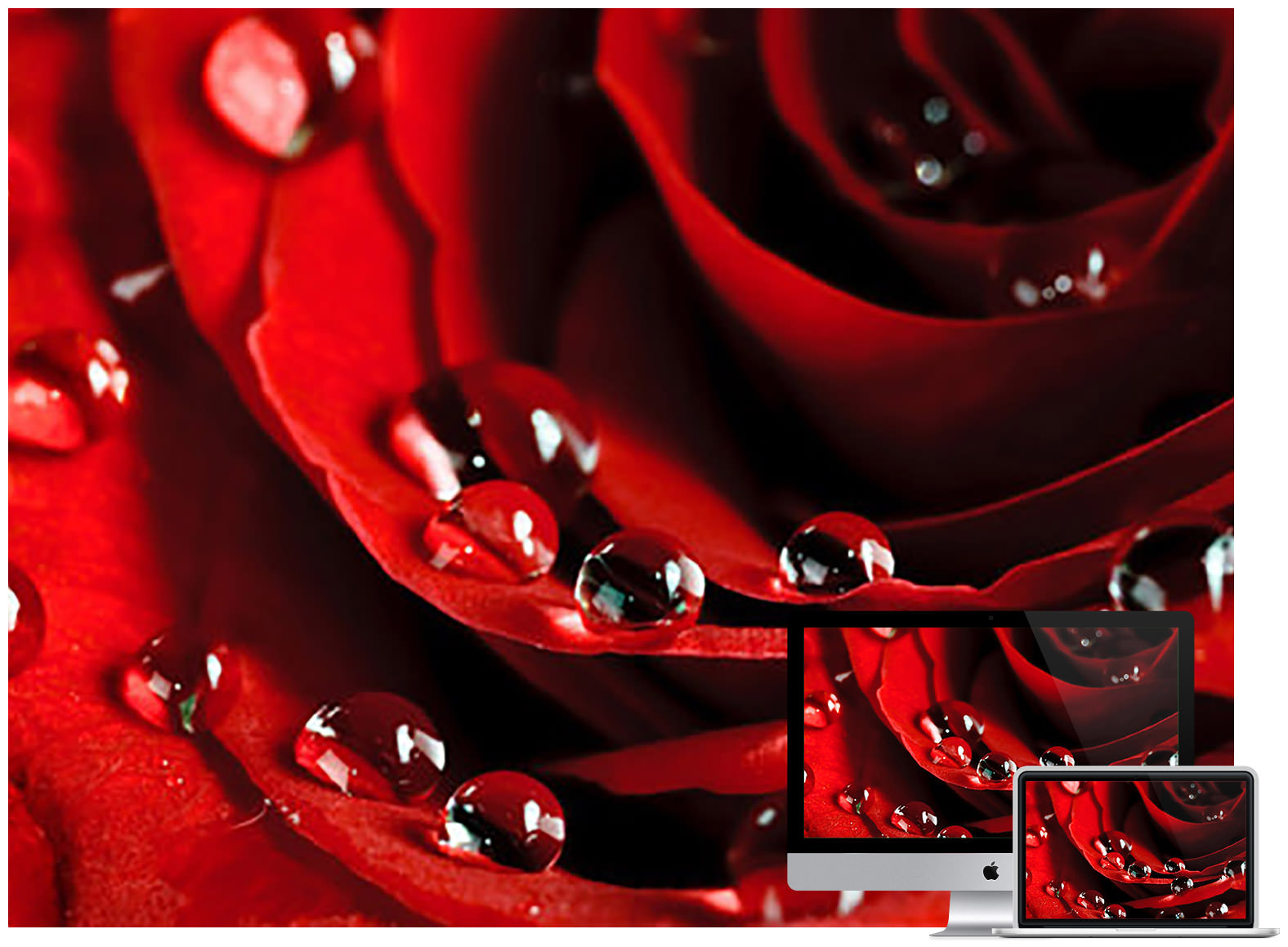wet drops wine red rose wallpaper